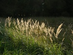 Calamagrostis epigeios